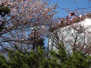 20140429_sakura1