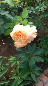 20150720_roses_in_sapporo_7