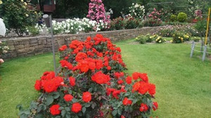 20170701_odori_rose_garden_4
