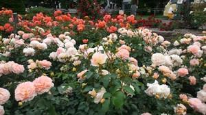 20170701_odori_rose_garden_5