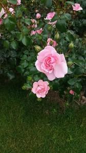 20170701_odori_rose_garden_6