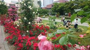 20170701_odori_rose_garden_7