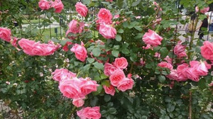 20170701_odori_rose_garden_8
