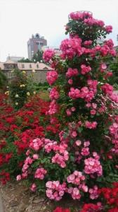 20170701_odori_rose_garden_9