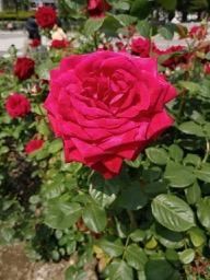 20180630_rose_garden_1