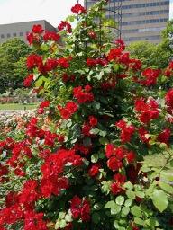 20180630_rose_garden_14