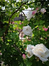20180630_rose_garden_5