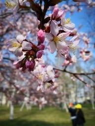 20190430-sapporo-flowers-4