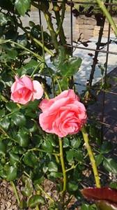 20150720_roses_in_sapporo_1