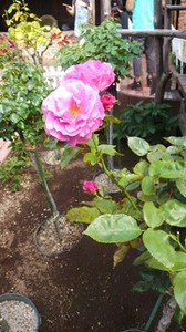 20150720_roses_in_sapporo_6