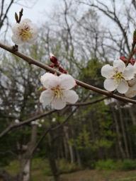 20180430_sapporo_spring_flowers_15