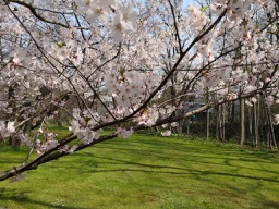 20180430_sapporo_spring_flowers_11