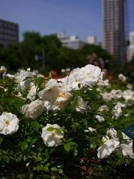 20180630_rose_garden_11